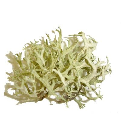 Lichene islandico, Cetraria islandica tallo taglio tisana