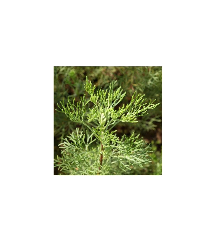Abrotano, Artemisia abrotanum sommità taglio tisana 500 g