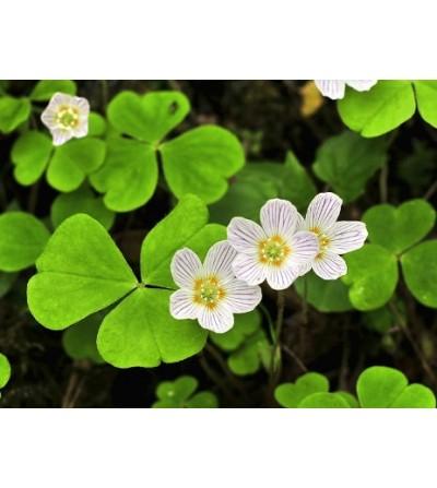 Acetosella, Oxalis acetosella foglie taglio tisana 500 g