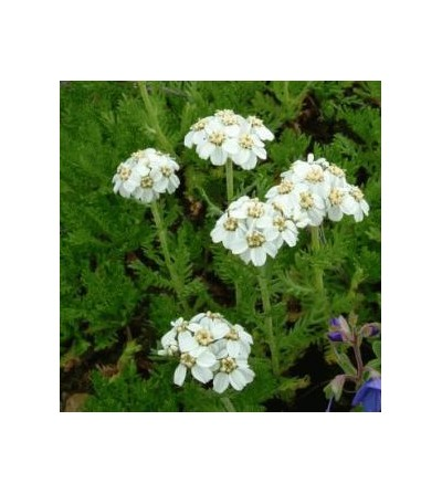 Achillea moscata sommità fiorita taglio tisana (Iva) 500 g