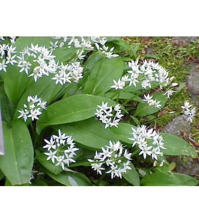 Aglio ursino, Allium ursinum foglie taglio tisana 500 g