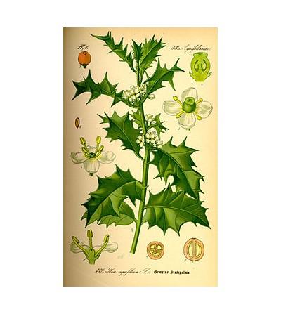 Agrifoglio, Ilex aquifolium foglie taglio tisana 500 g