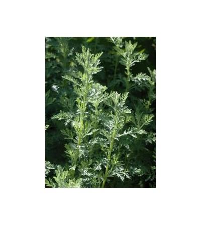Assenzio gentile, Artemisia pontica L. sommità taglio tisana 500 g