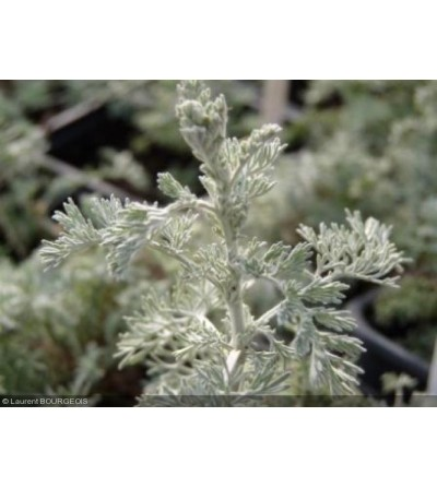 Assenzio pontico, Artemisia vallesiaca sommità taglio tisana 500 g