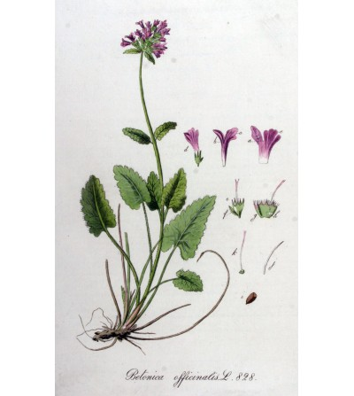 Betonica, Stachys officinalis erba taglio tisana 500 g
