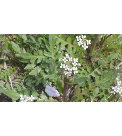 Bursa pastoris erba taglio tisana (Capsella) 500 g