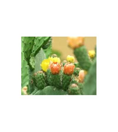 Cactus, Opuntia ficus indica fiori interi (Fichi d'India) 500 g