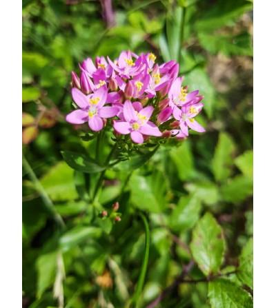 Centaurea minore, Centaurium erythraea erba con fiori taglio tisana 500 g