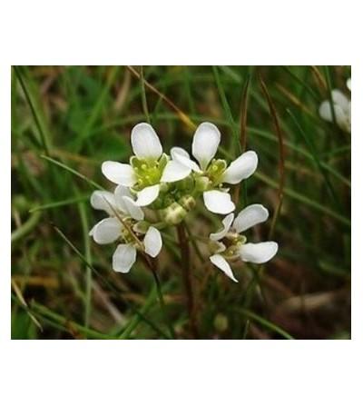 Coclearia, Cochlearia officinalis erba taglio tisana 500 g