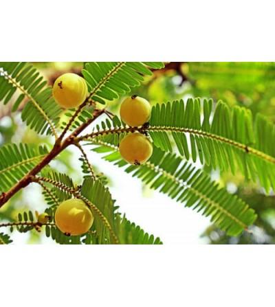 Emblica officinale, Phyllanthus emblica frutti  (Amla) 500 g