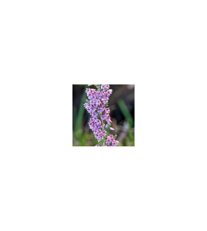 Erniaria, Herniaria glabra sommità taglio tisana 500 g