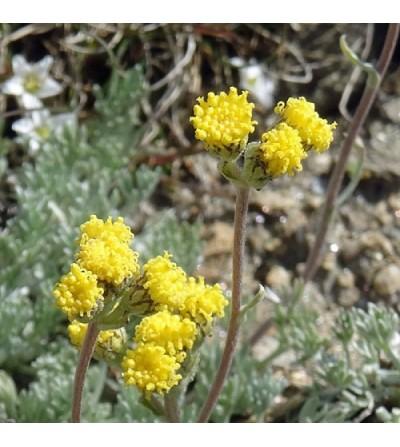 Genipi, Artemisia glacialis sommità taglio tisana (Genipi femmina) 500 g