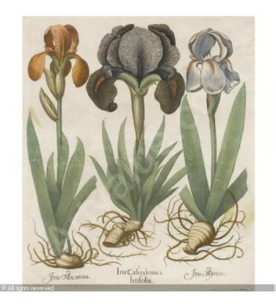 Giaggiolo, Iris germanica rizoma intero 500 grammi