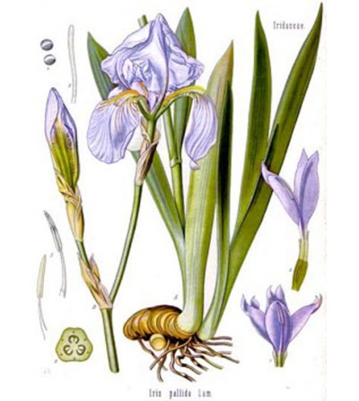 Giaggiolo, Iris germanica rizoma taglio tisana 500 g