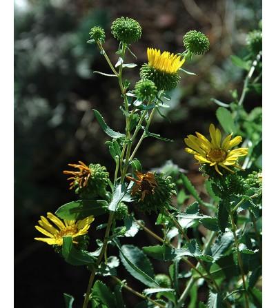 Grindelia, Grindelia robusta erba con fiori taglio tisana 500 g