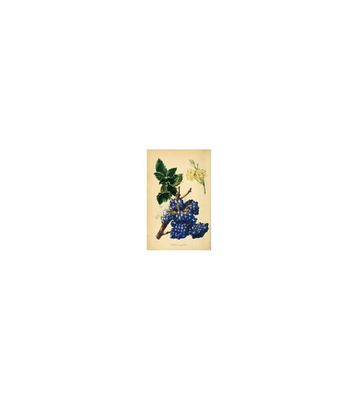 Mahonia aquifolia corteccia della radice taglio tisana 500 g